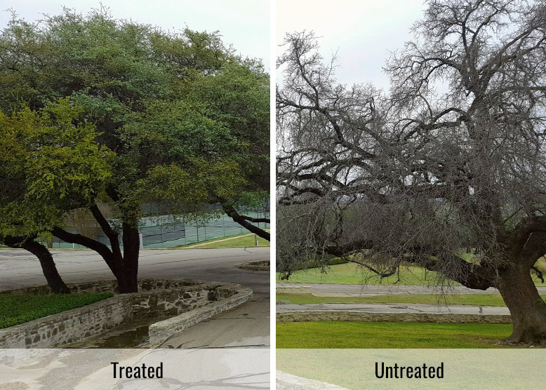 Oak Wilt treated vs untreated