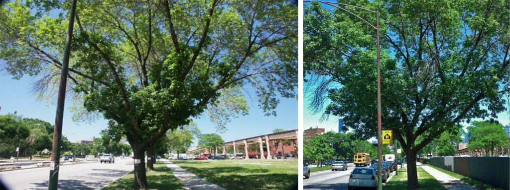 Emerald Ash Borer treatment, before and after (L to R)